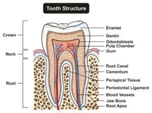 Diagram showing tooth structure
